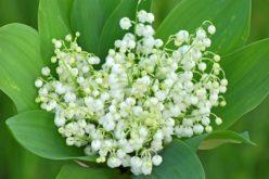 Mughetto contro ipotensione, cefalea e palpitazioni: ecco come piantare i bulbi